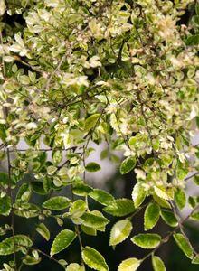 Ulmengewächse (Ulmaceae)