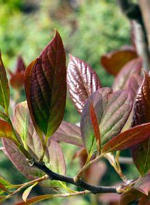 Tupelobäume (Nyssa)