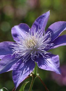 Waldrebe 'Crystal Fountain' / 'Fairy Blue'
