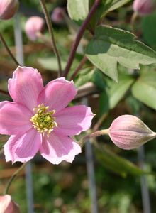 Clematis 'New Dawn'