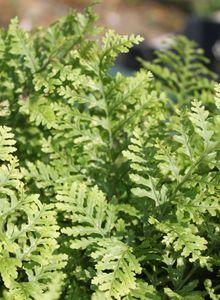 Tüpfelfarne (Polypodium)