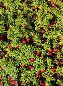 Cranberry / Großfruchtige Moosbeere