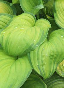 Duftende Lilien-Funkie 'Guacamole'