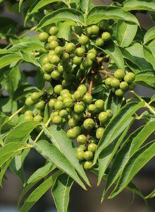 Korkbäume (Phellodendron)