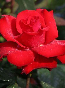 Edelrose 'Grande Amore' ®