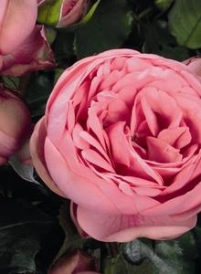 Rosenartige (Rosales)
