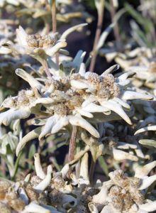 Edelweiß (Leontopodium)