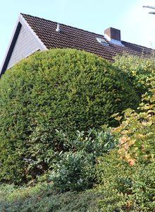 Eibengewächse (Taxaceae)