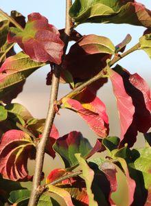 Parrotia (Parrotia)