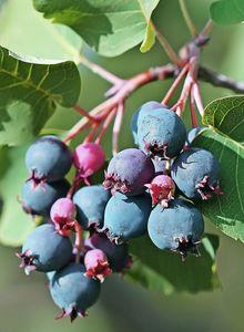 Erlenblättrige Felsenbirne 'Saskatoon Berry' ®