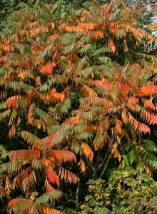 Sumachgewächse (Anacardiaceae)