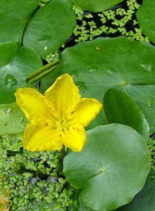 Fieberkleegewächse (Menyanthaceae)