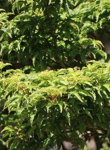 Fächer-Ahorn 'Shishigashira' / 'Cristatum'