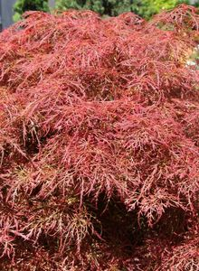 Seifenbaumgewächse (Sapindaceae)