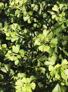 Ginkgogewächse (Ginkgoaceae)