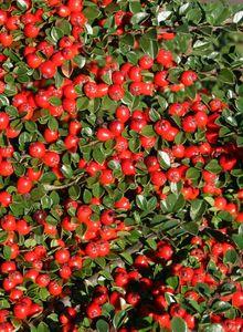 Zwergmispeln (Cotoneaster)