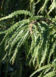 Gagelstrauchgewächse (Myricaceae)