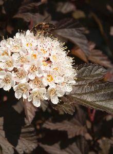 Blasenspieren (Physocarpus)