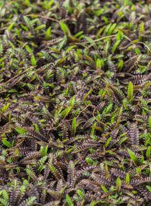 Laugenblumen (Cotula)