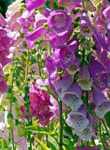Fingerhüte (Digitalis)