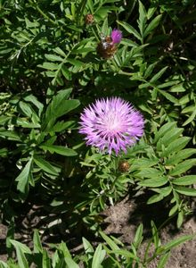 Flockenblumen (Centaurea)