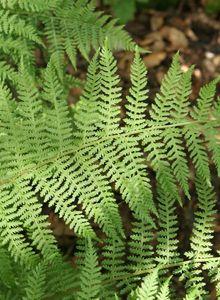 Wimperfarngewächse (Woodsiaceae)