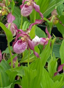 Frauenschuh (Cypripedium)