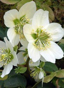 Frühblühende Garten Christrose 'Praecox'