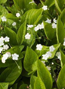 Frühlings Gedenkemein 'Alba'
