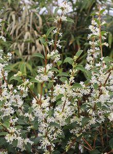 Duftblüten (Osmanthus)
