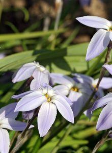 Sternblumen (Ipheion)