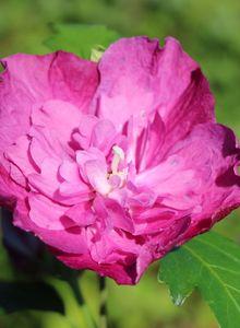 Garteneibisch 'Purple Ruffles' ®