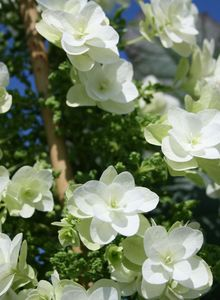 Eichenblatt-Hortensie Royalty® Collection Hovaria® Quercifolia