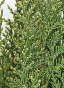 Gartenzypresse 'White Spot'