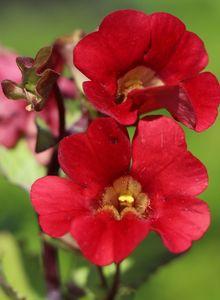 Gauklerblumen (Mimulus)