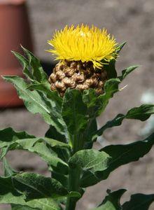 Gelbe Riesen-Flockenblume