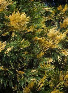 Weihrauchzedern (Calocedrus)