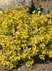 Gelbe Zwergspiere / Japanspiere 'Golden Princess'