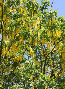 Goldregen (Laburnum)