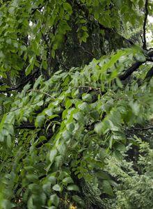 Geweihbäume (Gymnocladus)