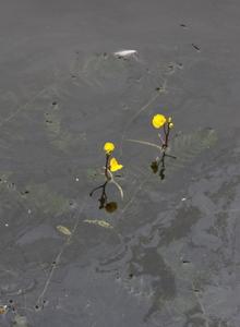 Wasserschläuche (Utricularia)