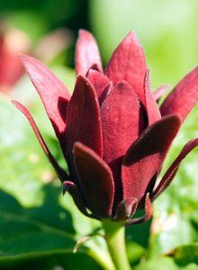 Gewürzstrauchgewächse (Calycanthaceae)