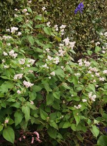 Knöterichgewächse (Polygonaceae)