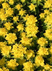 Wolfsmilchgewächse (Euphorbiaceae)