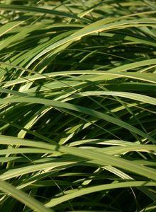 Schlickgräser (Spartina)