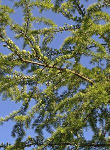 Kieferngewächse (Pinaceae)