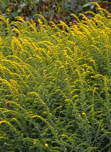 Goldruten (Solidago)