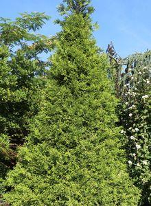 Goldspitzen Lebensbaum 'Aurescens'