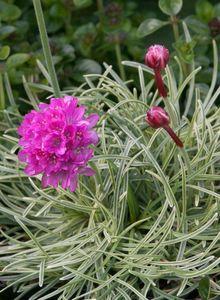 Bleiwurzgewächse (Plumbaginaceae)