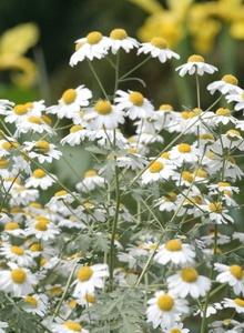 Korbblütler (Asteraceae)